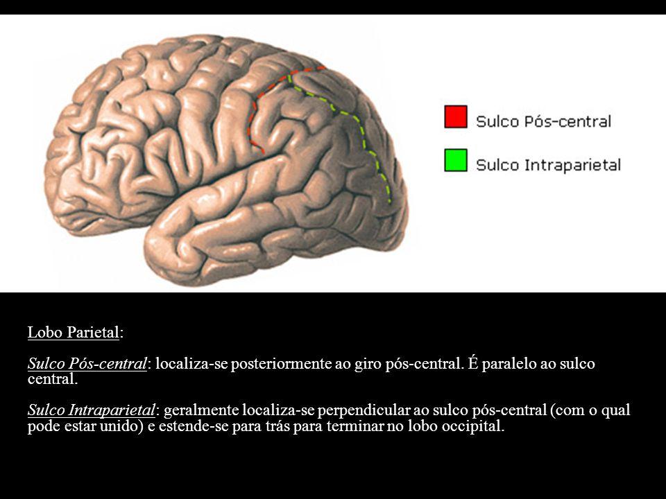 Lobo Parietal: Sulco Pós-central: localiza-se posteriormente ao giro pós-central. É paralelo ao sulco central. Sulco Intraparietal: geralmente localiz