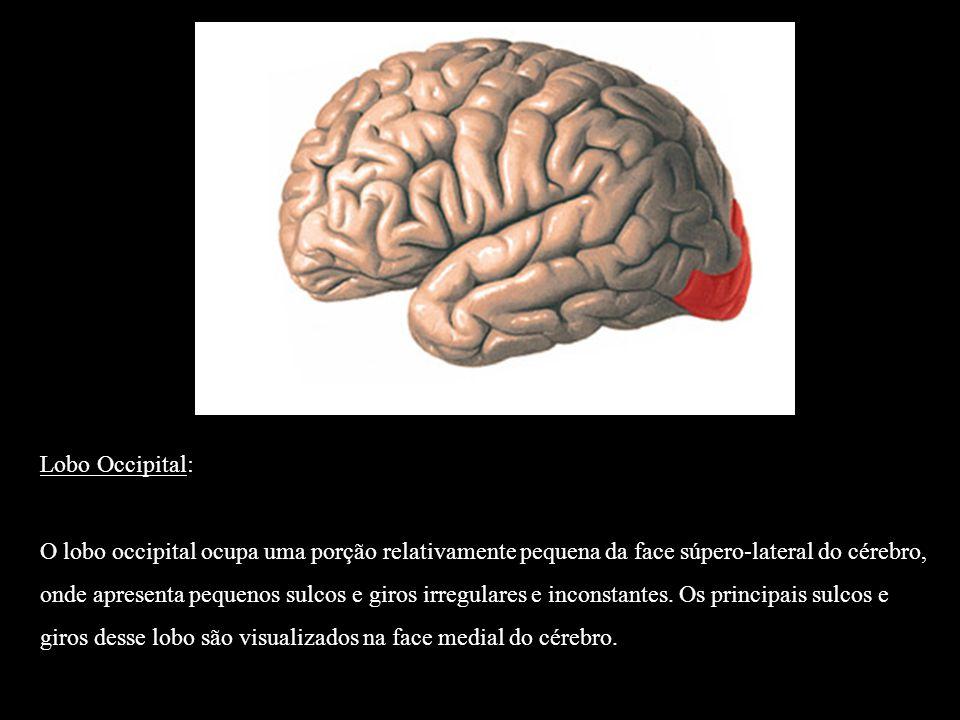 Lobo Occipital: O lobo occipital ocupa uma porção relativamente pequena da face súpero-lateral do cérebro, onde apresenta pequenos sulcos e giros irre