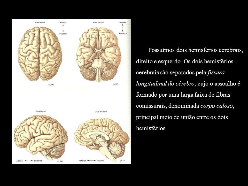 Possuímos dois hemisférios cerebrais, direito e esquerdo. Os dois hemisférios cerebrais são separados pela fissura longitudinal do cérebro, cujo o ass