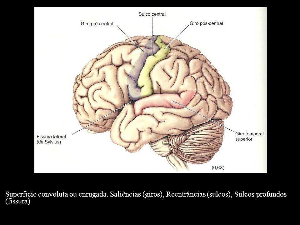 Lobo Occipital: O lobo occipital ocupa uma porção relativamente pequena da face súpero-lateral do cérebro, onde apresenta pequenos sulcos e giros irregulares e inconstantes.