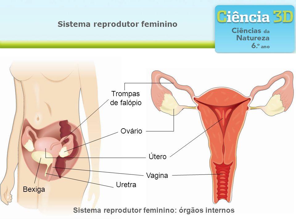 Sistema reprodutor feminino Sistema reprodutor feminino: órgãos internos Trompas de falópio Ovário Útero Bexiga Uretra Vagina