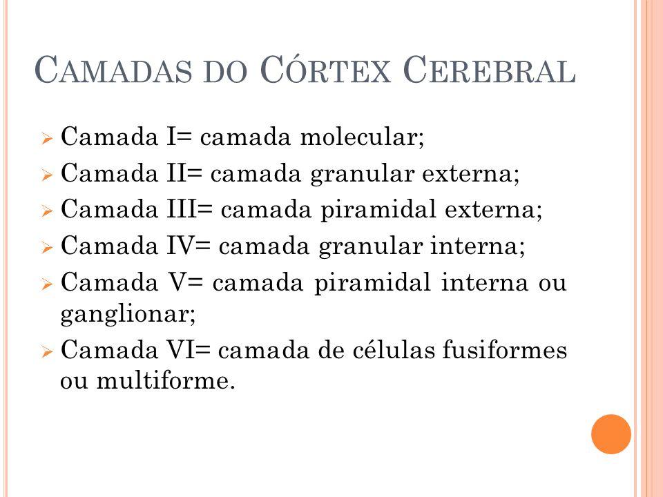 C AMADAS DO C ÓRTEX C EREBRAL Camada I= camada molecular; Camada II= camada granular externa; Camada III= camada piramidal externa; Camada IV= camada granular interna; Camada V= camada piramidal interna ou ganglionar; Camada VI= camada de células fusiformes ou multiforme.