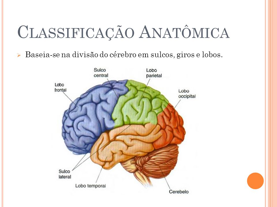 C LASSIFICAÇÃO A NATÔMICA Baseia-se na divisão do cérebro em sulcos, giros e lobos.