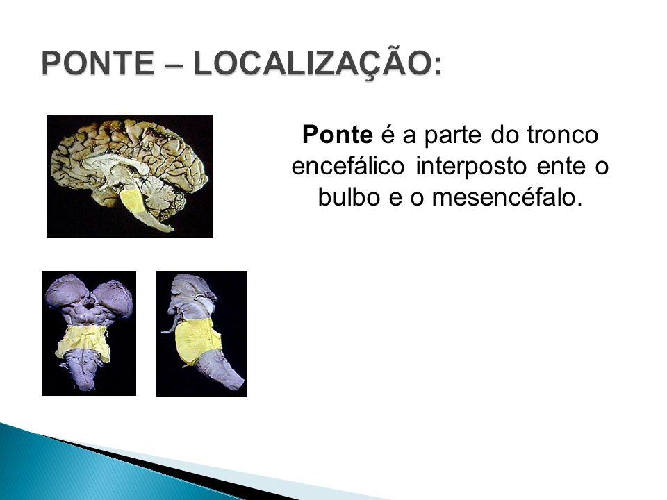 Ponte é a parte do tronco encefálico interposto ente o bulbo e o mesencéfalo.