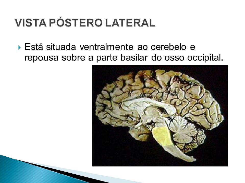 Está situada ventralmente ao cerebelo e repousa sobre a parte basilar do osso occipital.