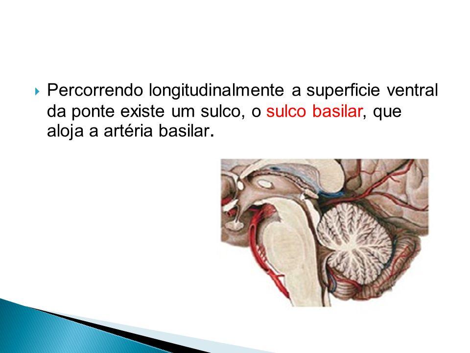 Percorrendo longitudinalmente a superficie ventral da ponte existe um sulco, o sulco basilar, que aloja a artéria basilar.