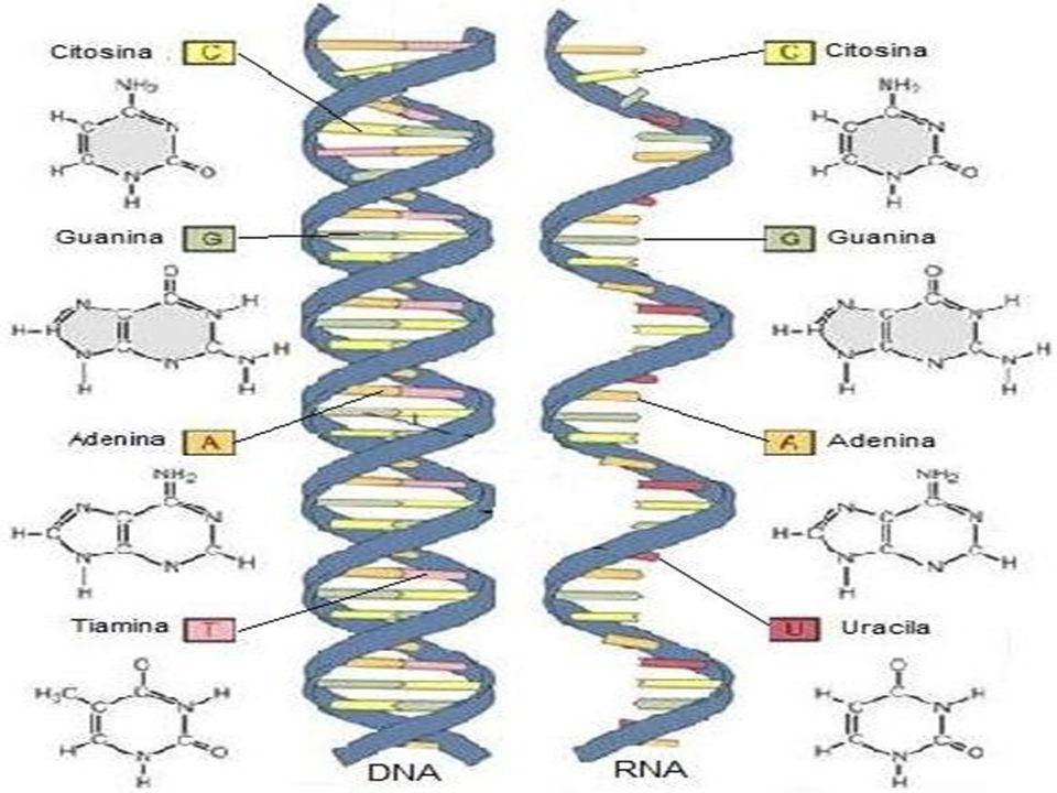 Componentes estruturais dos Ácidos Nucléicos Bioquímica Prof.