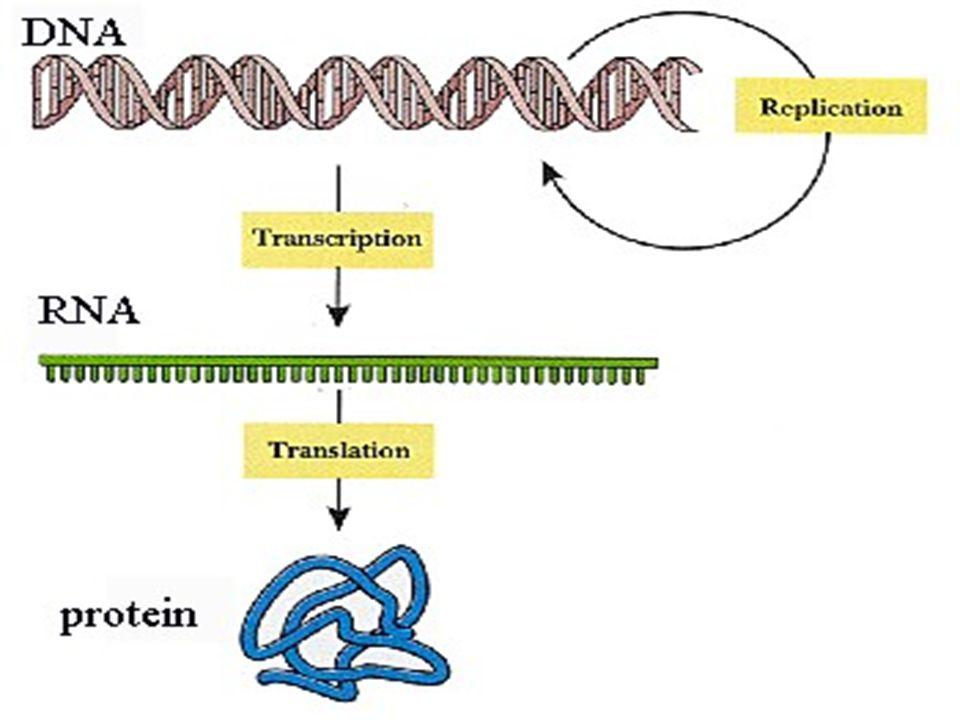 O Dogma Central da Biologia Molecular Bioquímica Prof.