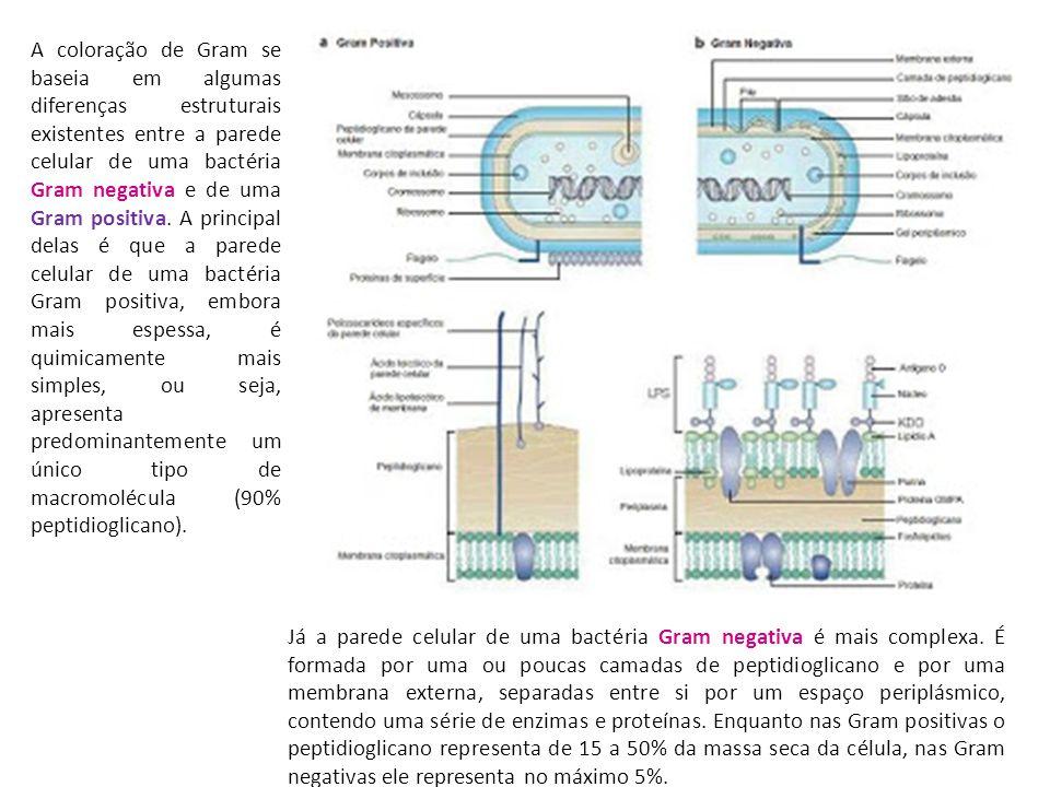 A coloração de Gram se baseia em algumas diferenças estruturais existentes entre a parede celular de uma bactéria Gram negativa e de uma Gram positiva.