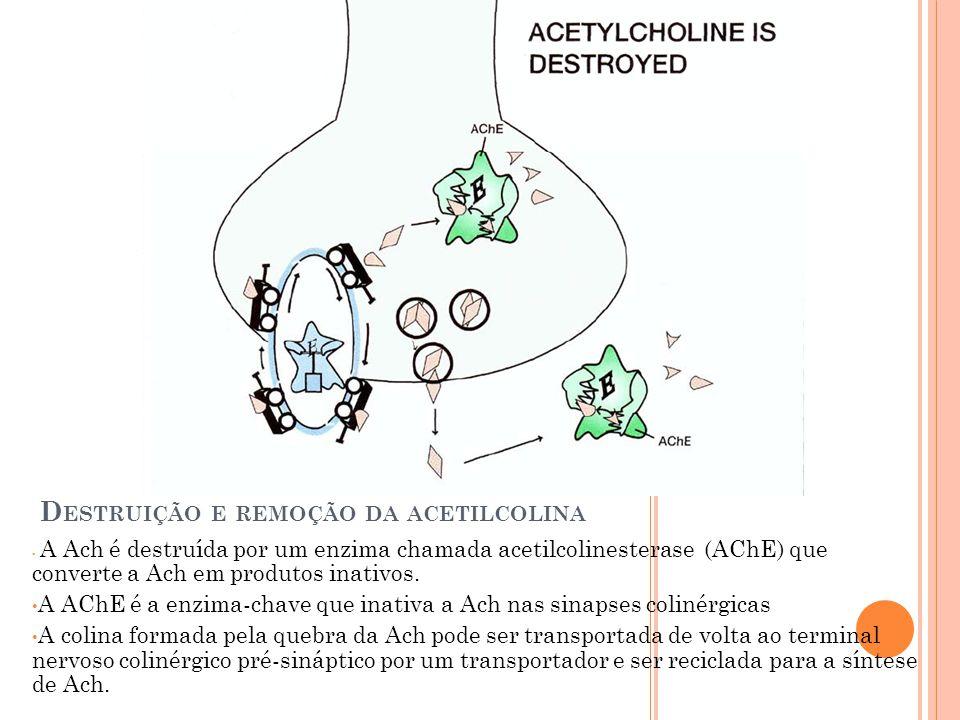 D ESTRUIÇÃO E REMOÇÃO DA ACETILCOLINA A Ach é destruída por um enzima chamada acetilcolinesterase (AChE) que converte a Ach em produtos inativos. A AC