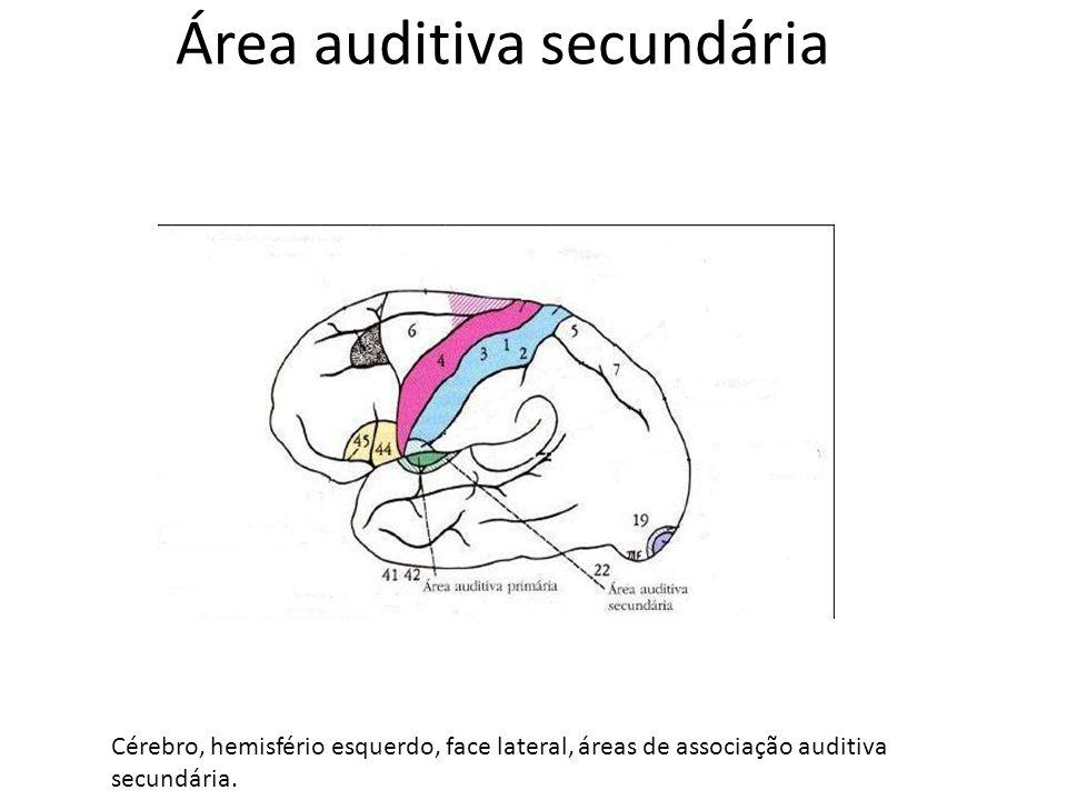 Área auditiva secundária Cérebro, hemisfério esquerdo, face lateral, áreas de associação auditiva secundária.
