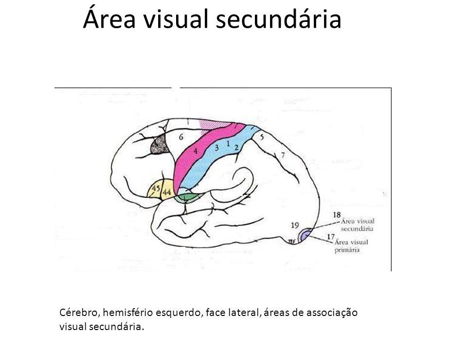 Área visual secundária Cérebro, hemisfério esquerdo, face lateral, áreas de associação visual secundária.