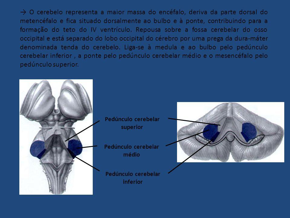 O cerebelo representa a maior massa do encéfalo, deriva da parte dorsal do metencéfalo e fica situado dorsalmente ao bulbo e à ponte, contribuindo para a formação do teto do IV ventrículo.