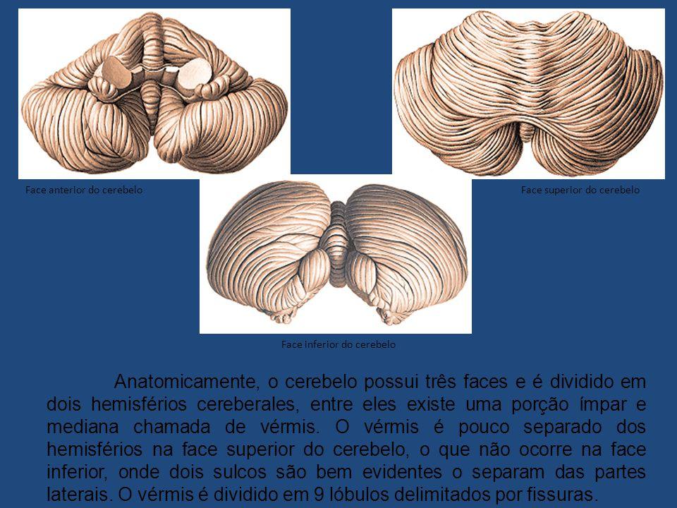Face superior do cerebelo Anatomicamente, o cerebelo possui três faces e é dividido em dois hemisférios cereberales, entre eles existe uma porção ímpar e mediana chamada de vérmis.