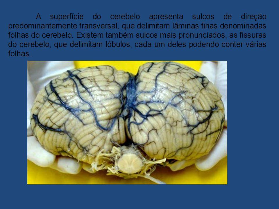 A superfície do cerebelo apresenta sulcos de direção predominantemente transversal, que delimitam lâminas finas denominadas folhas do cerebelo.