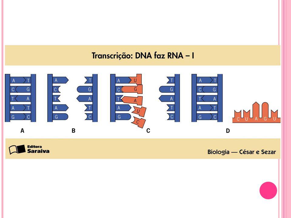 TRANSCRIÇÃO: DNA para RNAm Síntese de RNA usando como molde a fita de DNA.