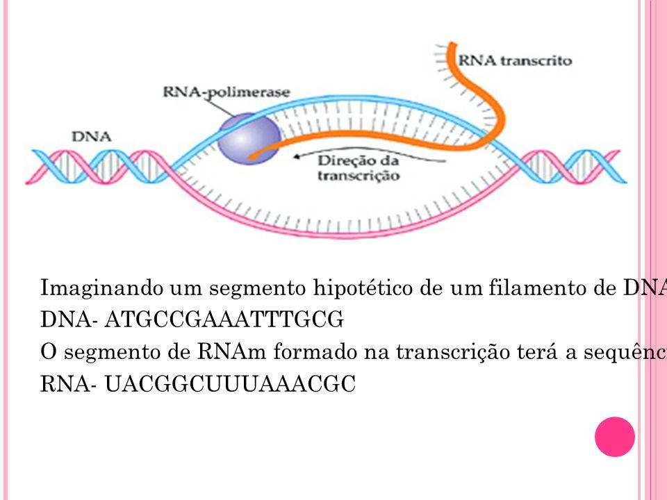 Imaginando um segmento hipotético de um filamento de DNA com a sequência de bases: DNA- ATGCCGAAATTTGCG O segmento de RNAm formado na transcrição terá