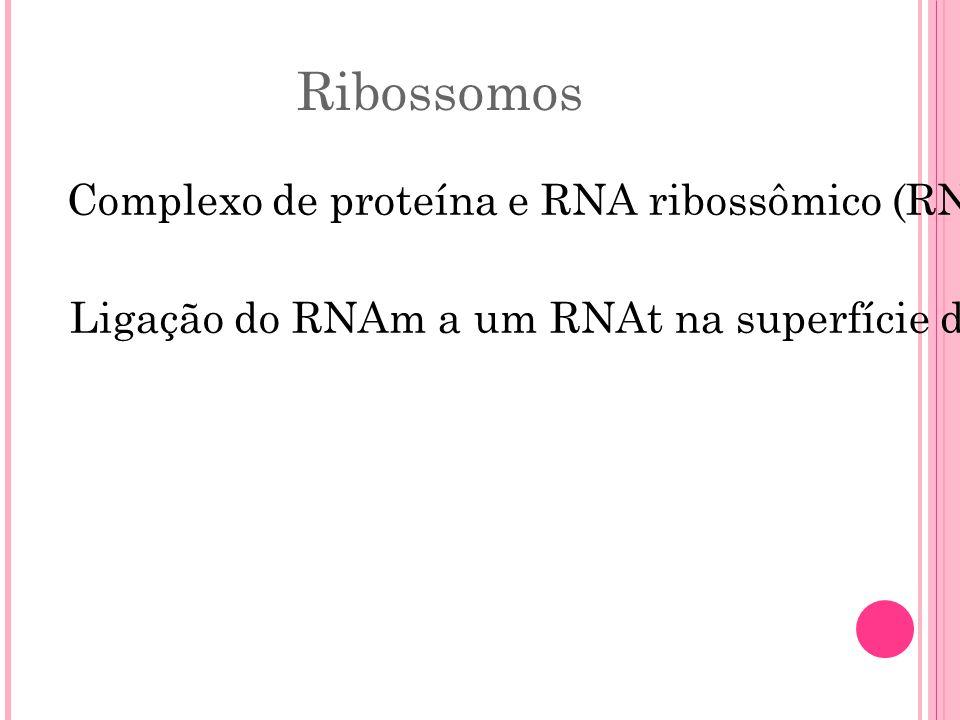Ribossomos Complexo de proteína e RNA ribossômico (RNAr) que catalisa a síntese de polipeptídeo. Ligação do RNAm a um RNAt na superfície do ribossomo.