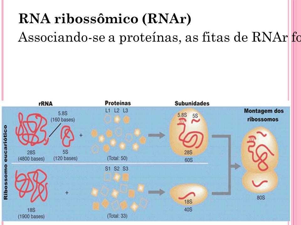 RNA ribossômico (RNAr) Associando-se a proteínas, as fitas de RNAr formarão os ribossomos, orgânulos responsáveis pela leitura da mensagem contida no