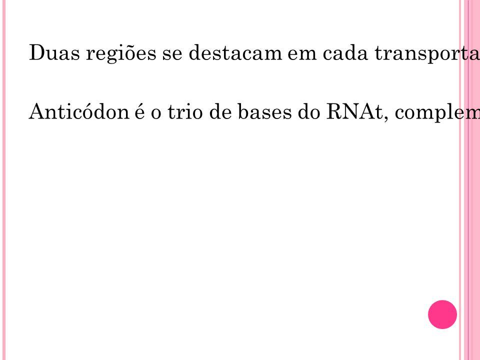 Duas regiões se destacam em cada transportador: uma é o local em que se ligará o aminoácido a ser transportado e a outra corresponde ao trio de bases
