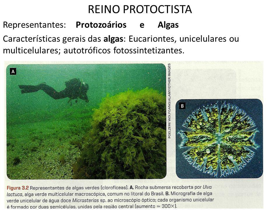REINO PROTOCTISTA Representantes: Protozoários e Algas Características gerais das algas: Eucariontes, unicelulares ou multicelulares; autotróficos fot