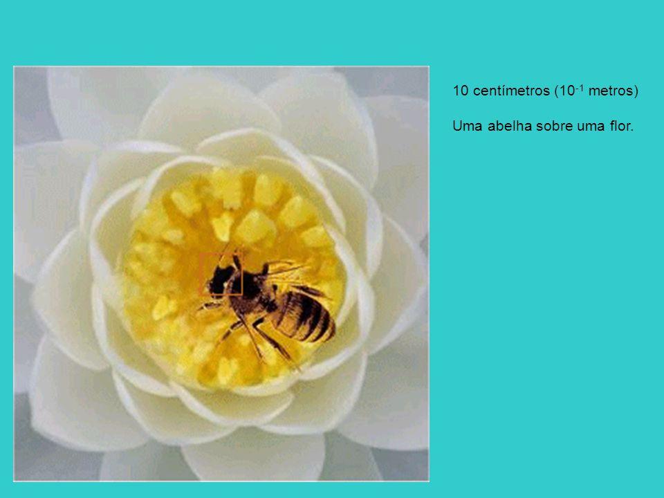 10 centímetros (10 -1 metros) Uma abelha sobre uma flor.