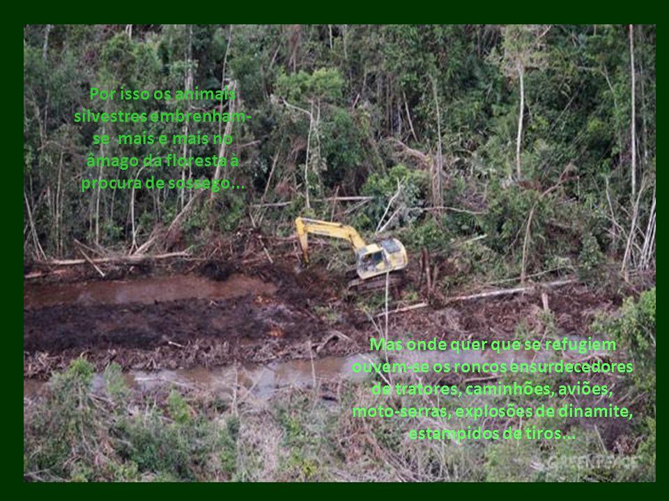 Por isso os animais silvestres embrenham- se mais e mais no âmago da floresta à procura de sossego... Mas onde quer que se refugiem ouvem-se os roncos