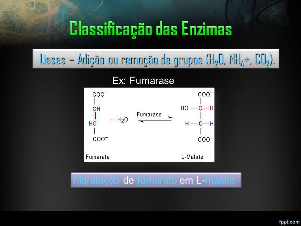 Liases – Adição ou remoção de grupos (H 2 O, NH 4 +, CO 2 ). Liases – Adição ou remoção de grupos (H 2 O, NH 4 +, CO 2 ). Ex: Fumarase hidrataçãohidra