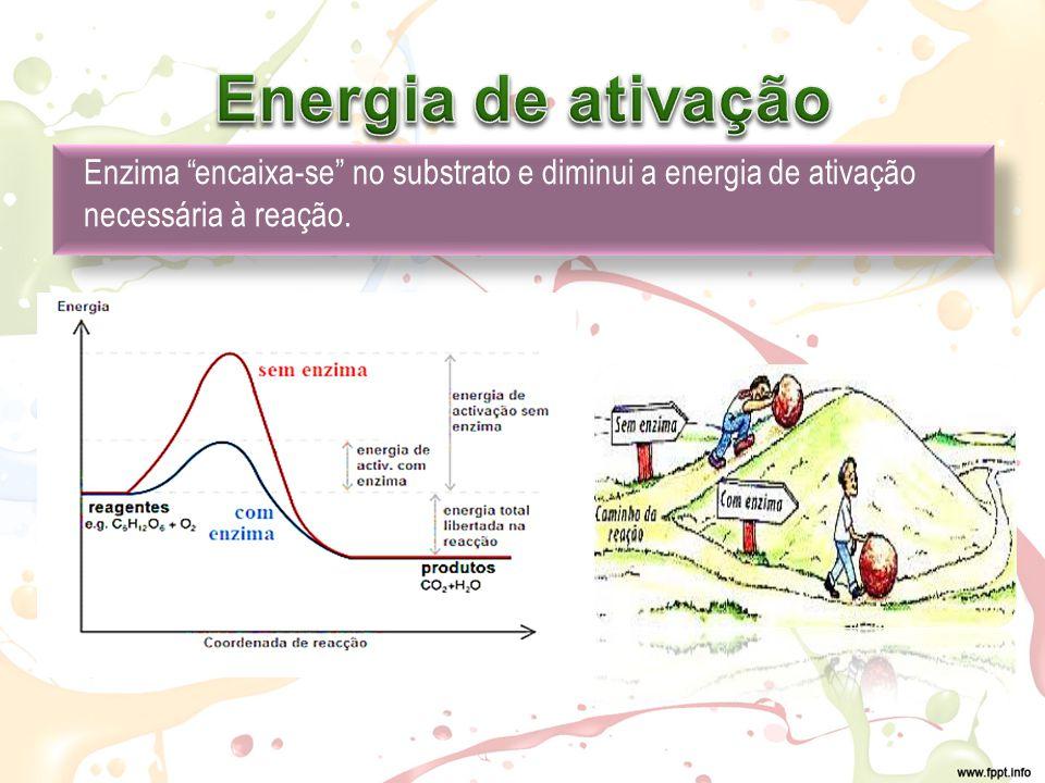Enzima encaixa-se no substrato e diminui a energia de ativação necessária à reação.