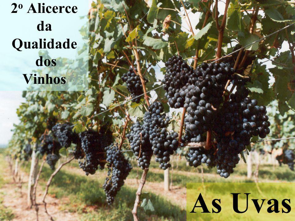 2 o Alicerce da Qualidade dos Vinhos As Uvas