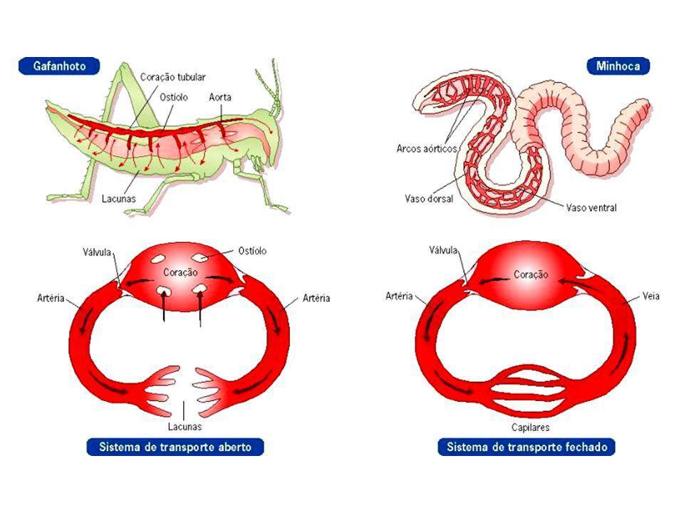 Circulação fechada dupla Neste tipo de circulação há dois tipos de sangue: o sangue venoso e o sangue arterial, pois há circulação pulmonar e circulação sistêmica.