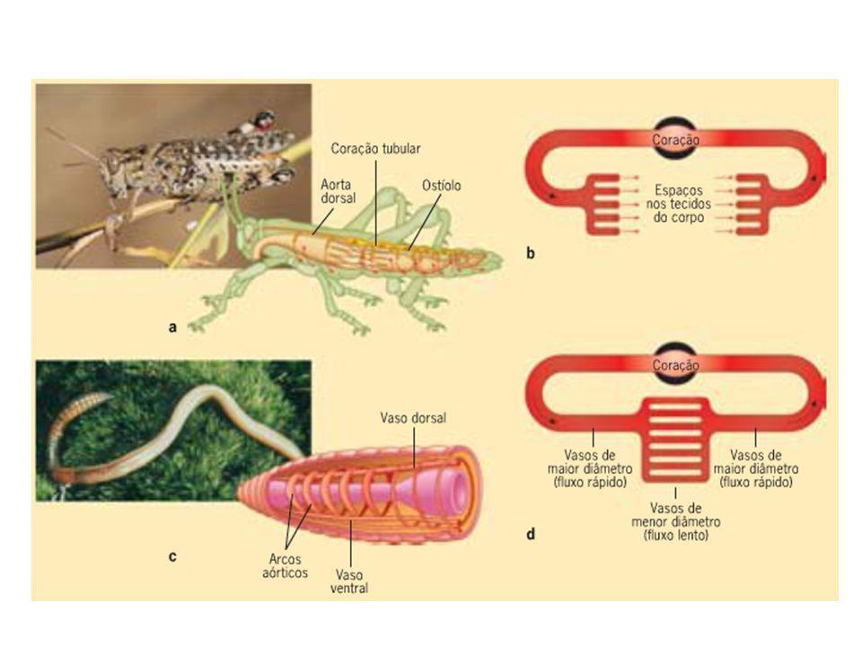 Sistema circulatório aberto ou lacunar É o tipo de sistema circulatório dos Moluscos e dos Artrópodes.