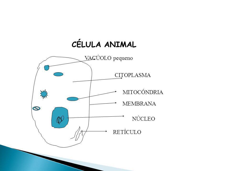 CÉLULA ANIMAL NÚCLEO MEMBRANA CITOPLASMA RETÍCULO MITOCÔNDRIA VACÚOLO pequeno