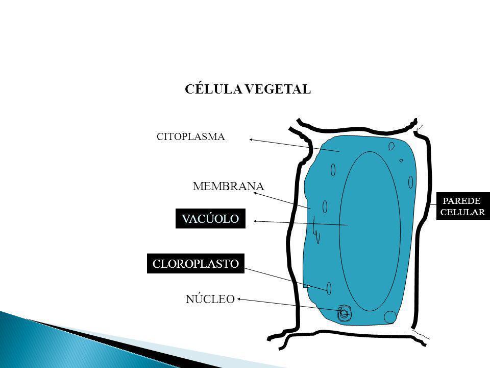 CÉLULA VEGETAL PAREDE CELULAR NÚCLEO CLOROPLASTO VACÚOLO MEMBRANA CITOPLASMA