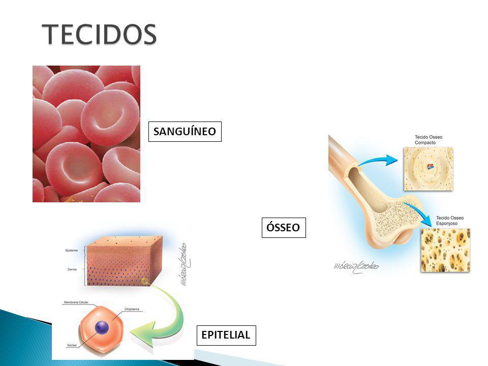 O núcleo geralmente tem forma esférica.Na maioria dos casos, ele fica no centro da célula.