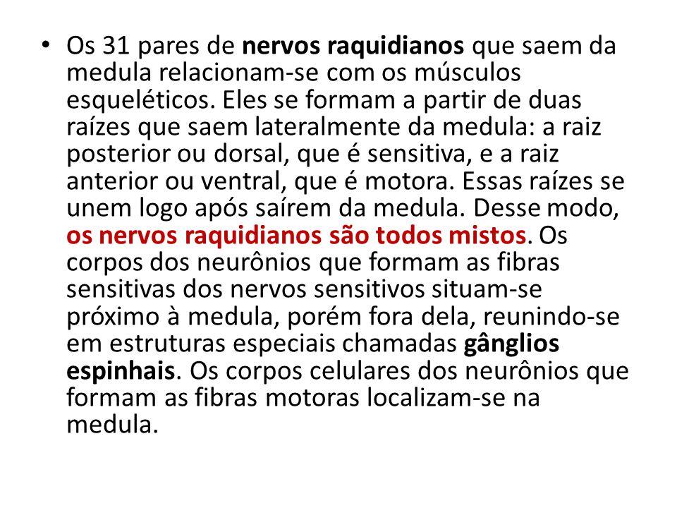 Os 31 pares de nervos raquidianos que saem da medula relacionam-se com os músculos esqueléticos. Eles se formam a partir de duas raízes que saem later