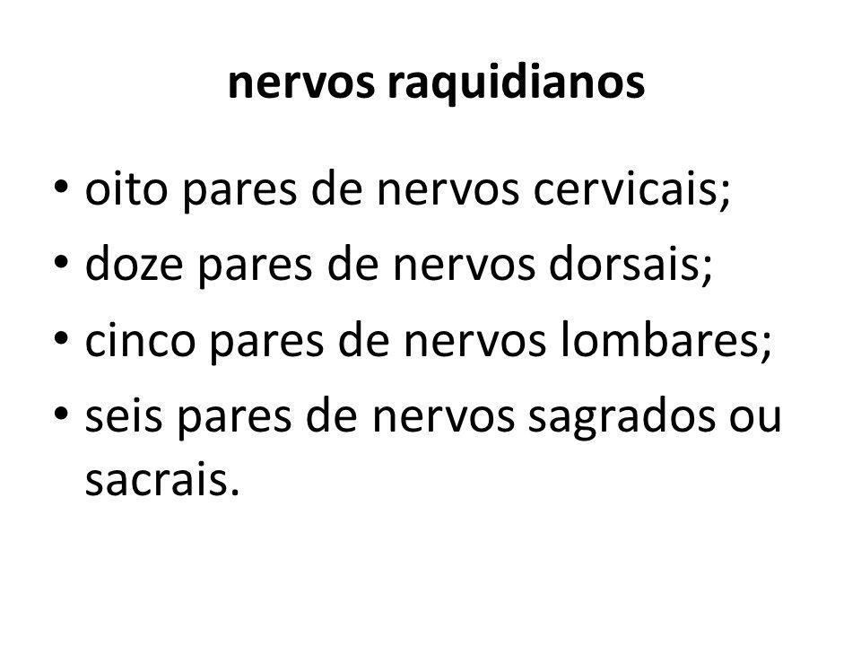 nervos raquidianos oito pares de nervos cervicais; doze pares de nervos dorsais; cinco pares de nervos lombares; seis pares de nervos sagrados ou sacr