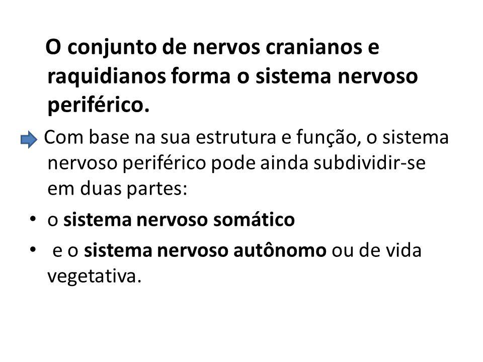O conjunto de nervos cranianos e raquidianos forma o sistema nervoso periférico. Com base na sua estrutura e função, o sistema nervoso periférico pode