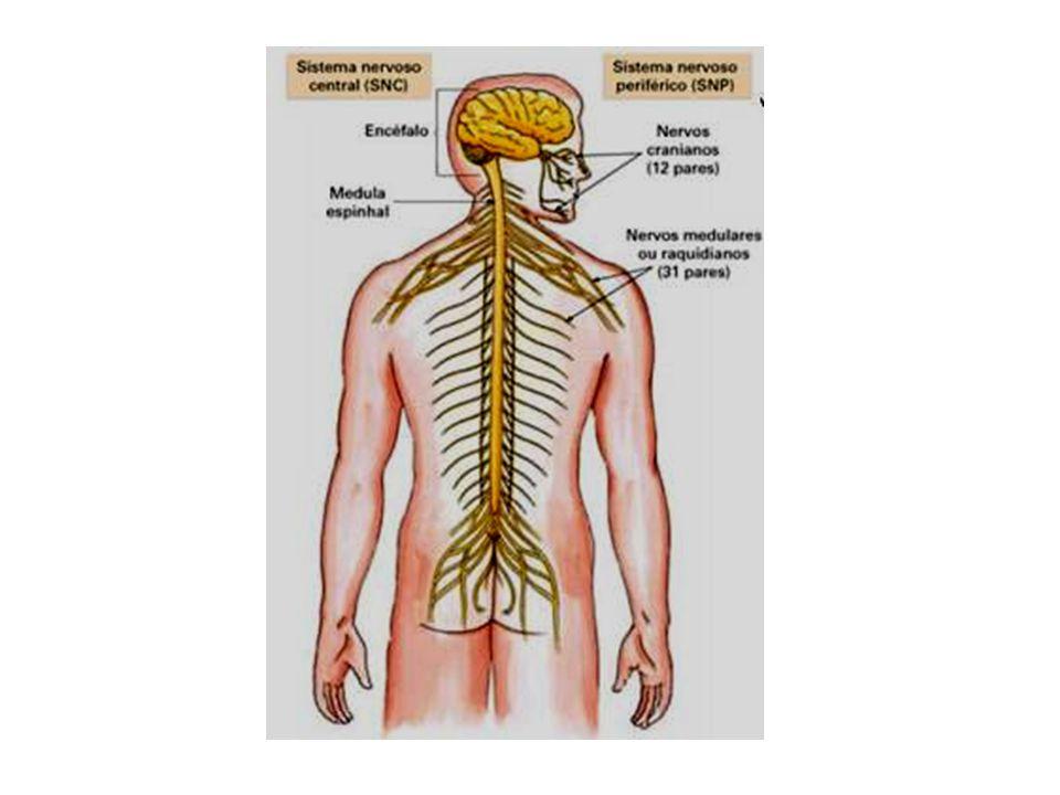 nervos raquidianos oito pares de nervos cervicais; doze pares de nervos dorsais; cinco pares de nervos lombares; seis pares de nervos sagrados ou sacrais.
