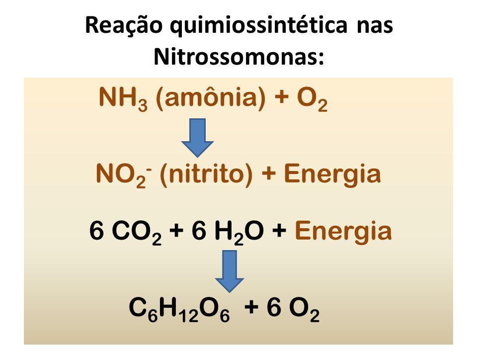 Reação quimiossintética nas Nitrossomonas: NH 3 (amônia) + O 2 NO 2 - (nitrito) + Energia 6 CO 2 + 6 H 2 O + Energia C 6 H 12 O 6 + 6 O 2