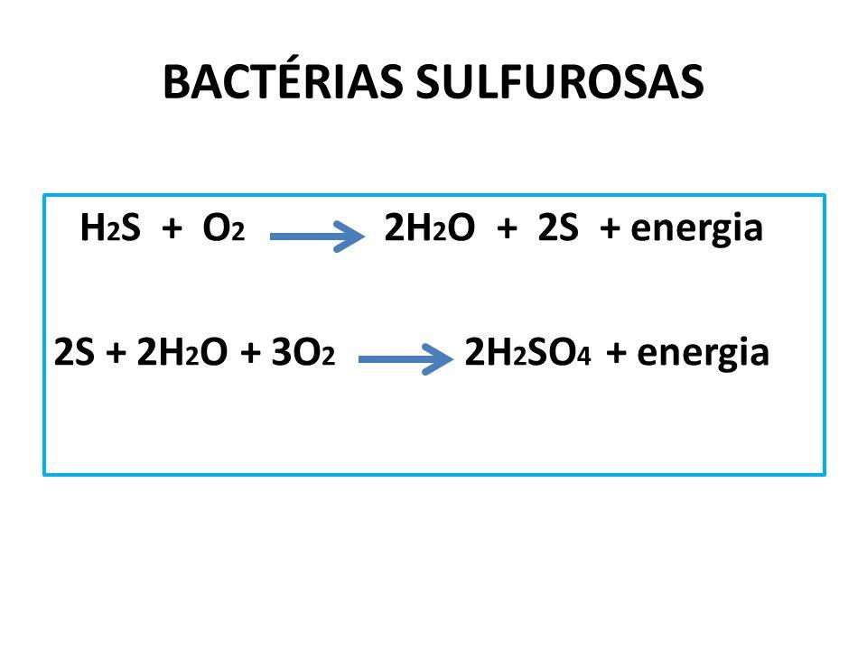 BACTÉRIAS SULFUROSAS H 2 S + O 2 2H 2 O + 2S + energia 2S + 2H 2 O + 3O 2 2H 2 SO 4 + energia