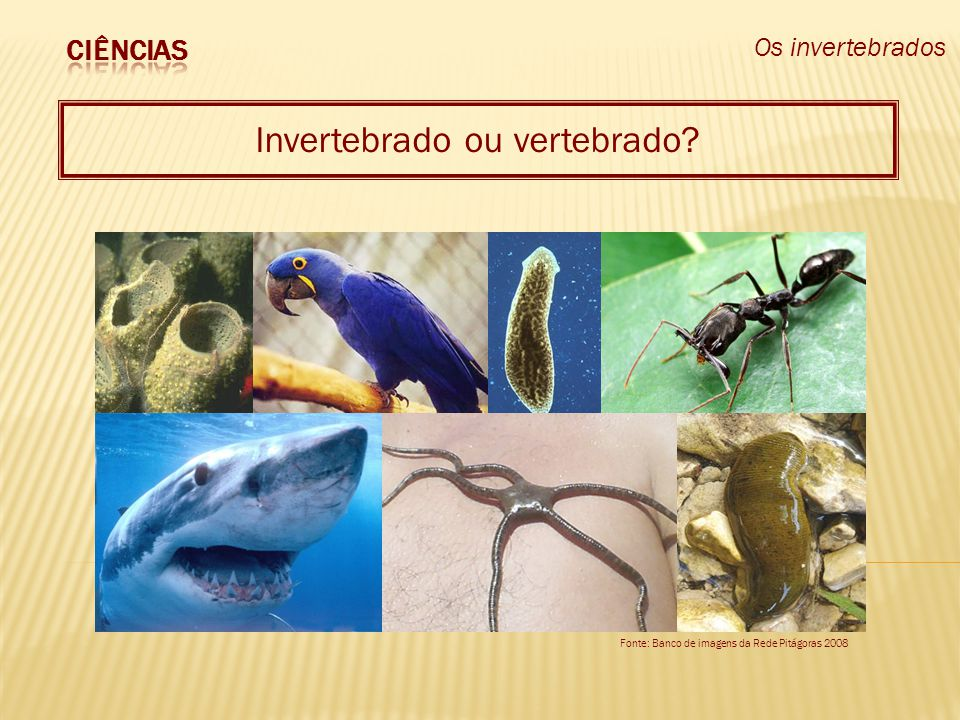 Os invertebrados Invertebrado ou vertebrado? Fonte: Banco de imagens da Rede Pitágoras 2008