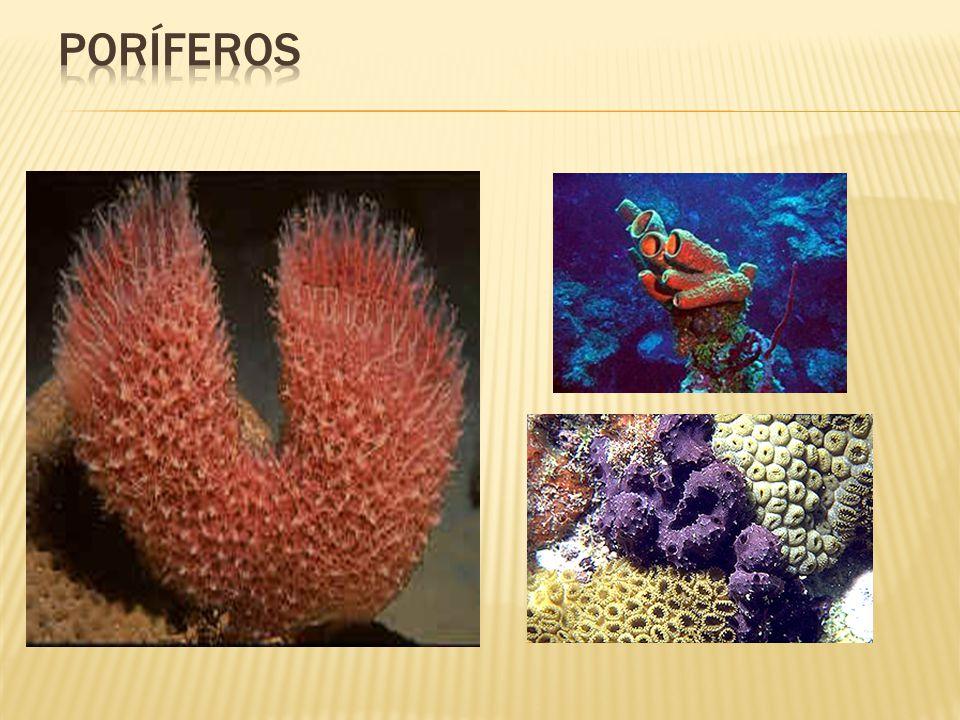 Os invertebrados Celenterados ou Cnidários Fonte: http://www.sottomare.com.br/galeria/Dive_110104-008.jpg Fonte: http://www.aqualandia.com.br/brain.jpg Estrutura característica: Células denominadas cnidoblastos.