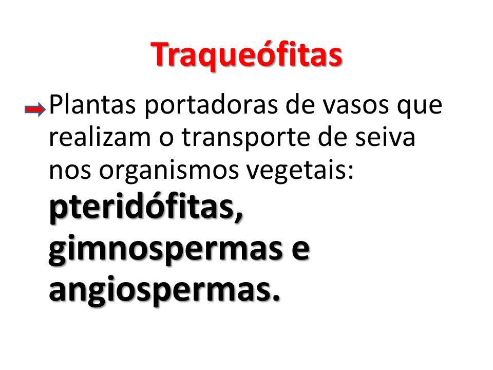 Traqueófitas pteridófitas, gimnospermas e angiospermas.