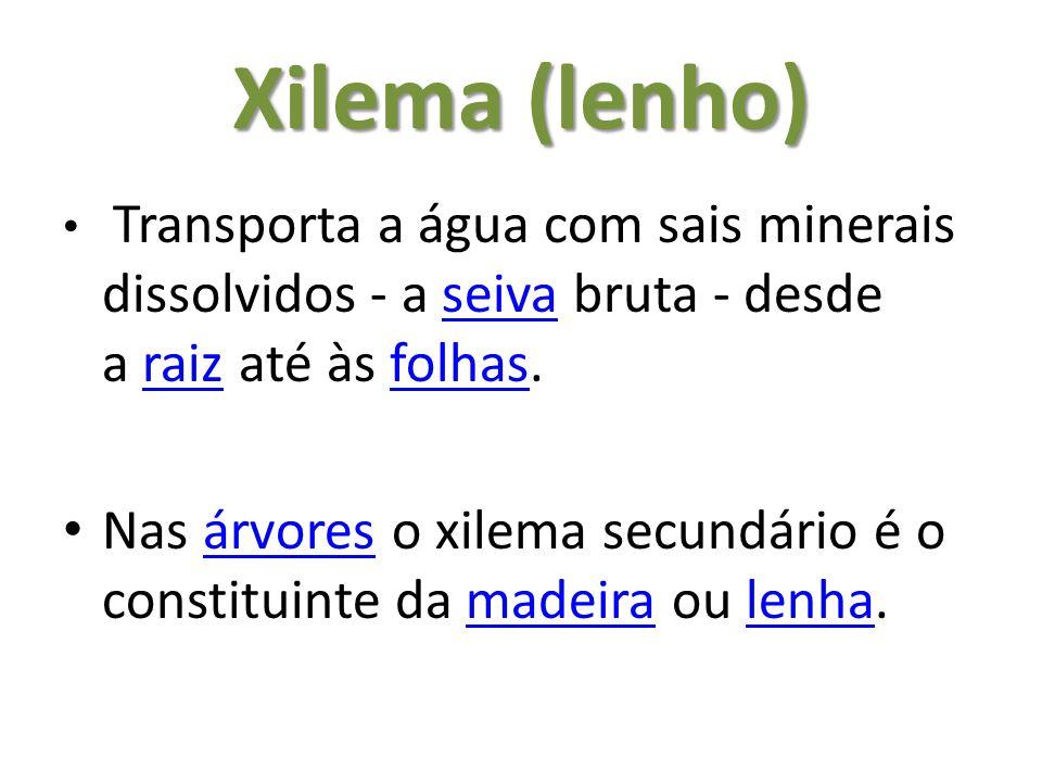 Xilema (lenho) Transporta a água com sais minerais dissolvidos - a seiva bruta - desde a raiz até às folhas.seivaraizfolhas Nas árvores o xilema secundário é o constituinte da madeira ou lenha.árvoresmadeiralenha