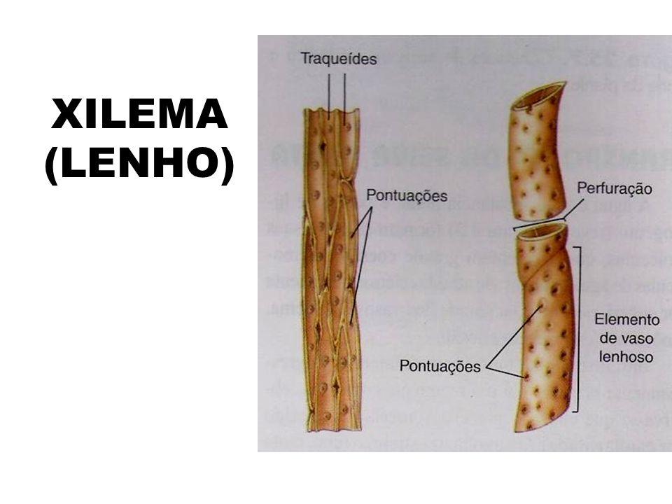 XILEMA (LENHO)
