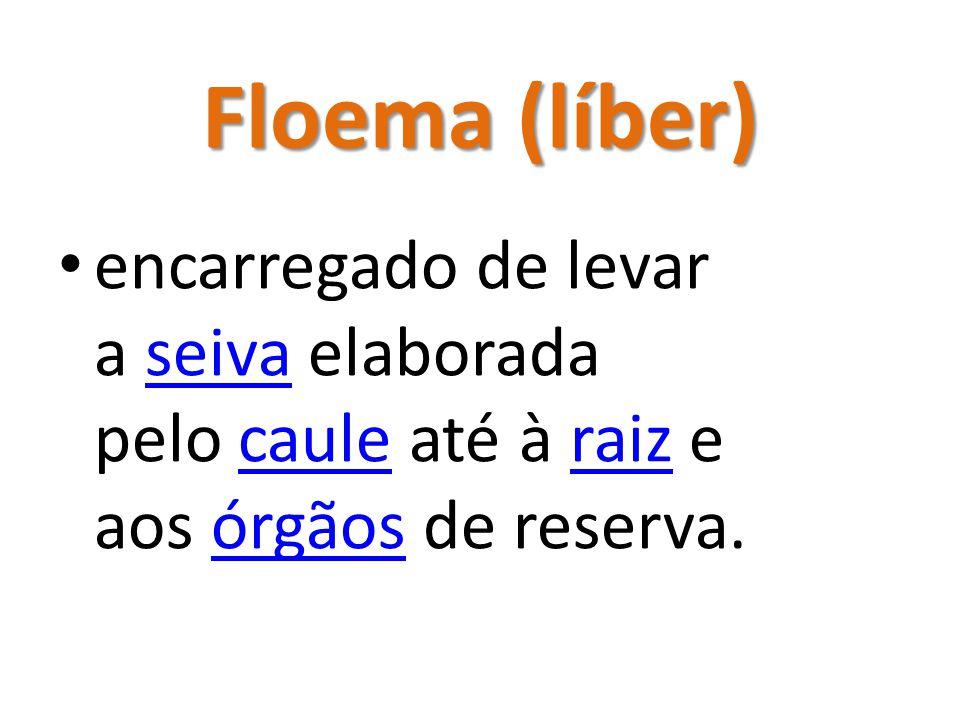 Floema (líber) encarregado de levar a seiva elaborada pelo caule até à raiz e aos órgãos de reserva.seivacauleraizórgãos