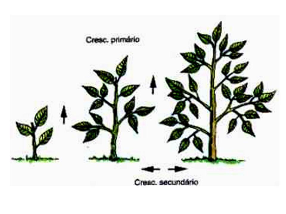 –Cerne, a parte mais escuraCerne –-morta - da madeira e a que lhe dá mais resistência; –Alburno, a zona mais clara –viva - que transporta a seiva bruta das raízes para as folhas.Alburno