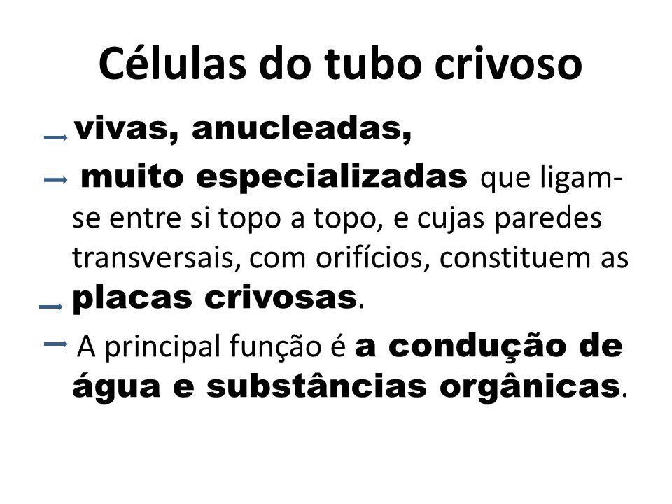 Células do tubo crivoso vivas, anucleadas, muito especializadas que ligam- se entre si topo a topo, e cujas paredes transversais, com orifícios, constituem as placas crivosas.
