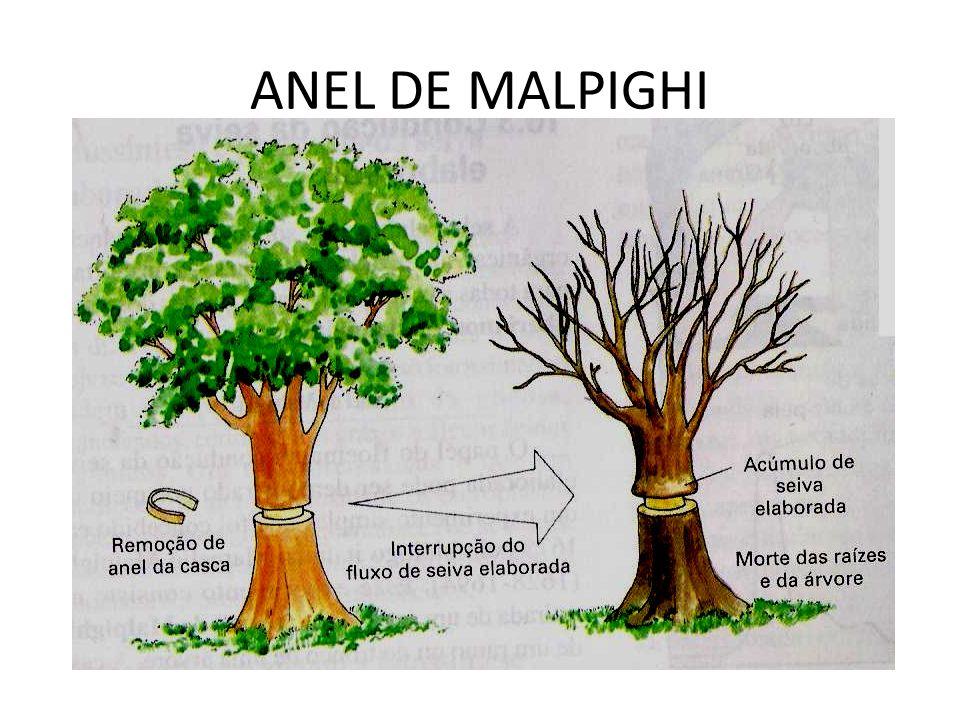 ANEL DE MALPIGHI